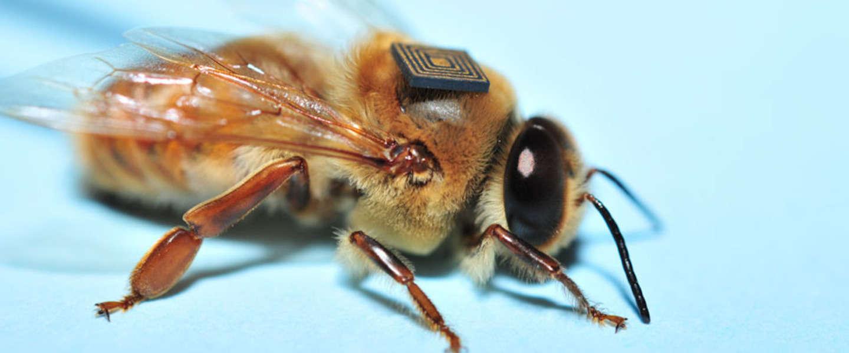 Duizenden bijen krijgen een 'trackingrugzakje'