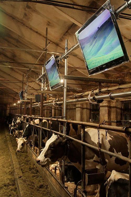 500x_cows1