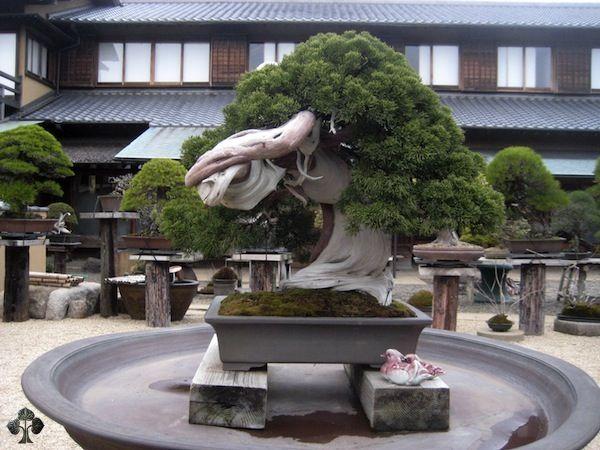 Duurste-bonsaibomen-ter-wereld-1