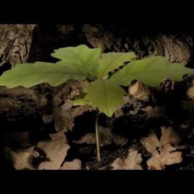 Van eikel tot jonge boom [time-lapse]