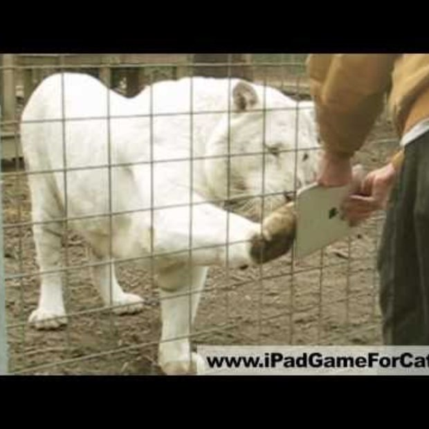 White Tiger Plays iPad
