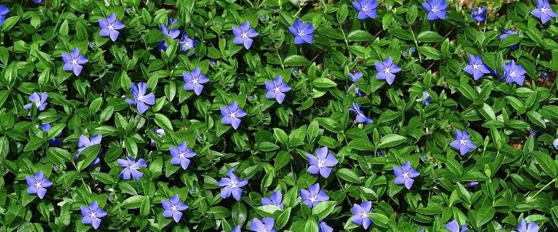 Bodembedekkers: daarmee geef je je tuin een rijker gevoel