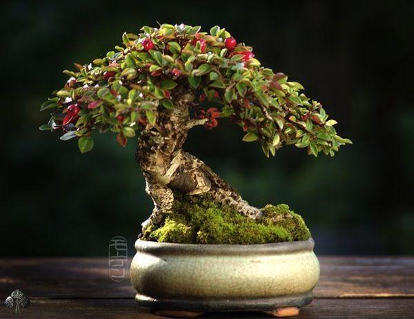 Duurste-bonsaibomen-ter-wereld-3