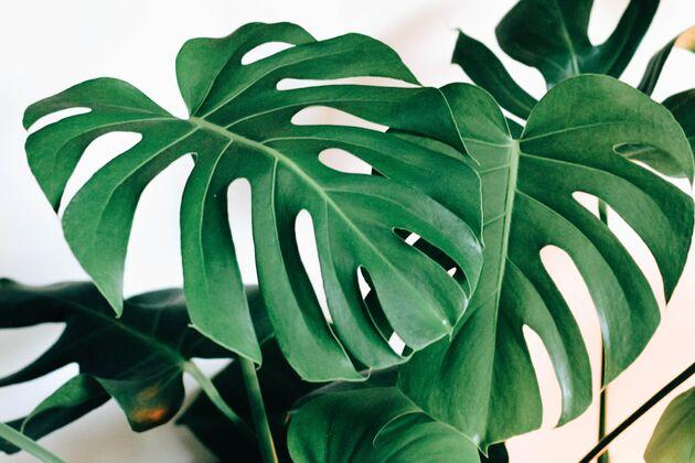 Monstera plant verzorging