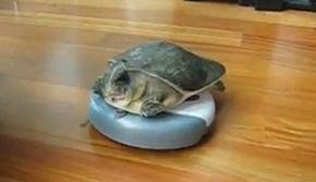 Schildpad rijdt rondjes op RoomBa robot stofzuiger