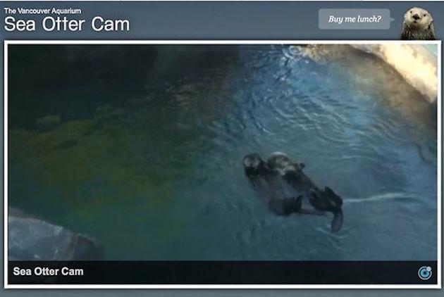 sea otter livestream